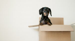 A dog stands up on its back legs in an open moving box.